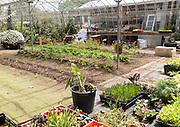 Inside large glasshouse, Potager Garden, Constantine, Cornwall, England, UK