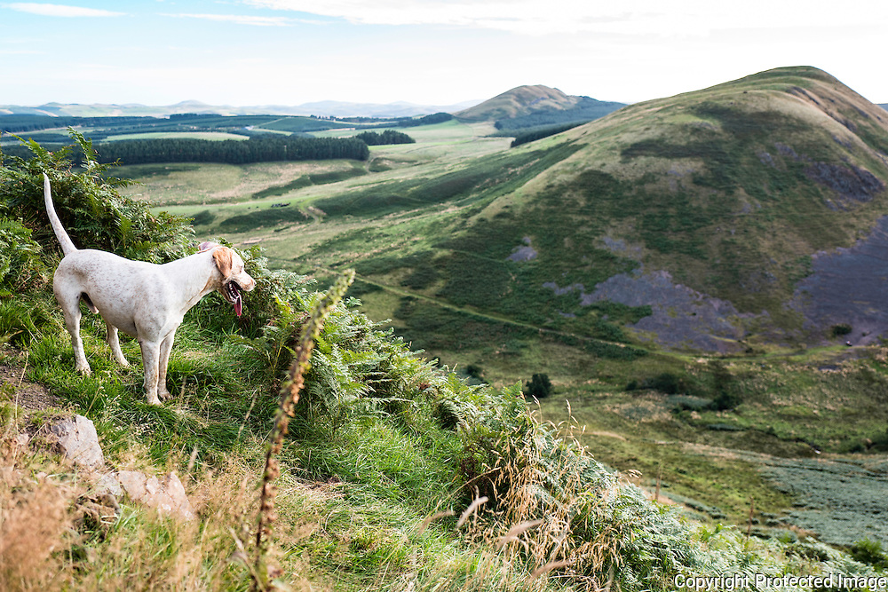 Wooplaw, Jedburgh, Scottish Borders, UK. 1st September 2016. Mackside. A foxhound hunts near the Anglo Scot Border in a bed of autumn bracken in Jedforest hill country.
