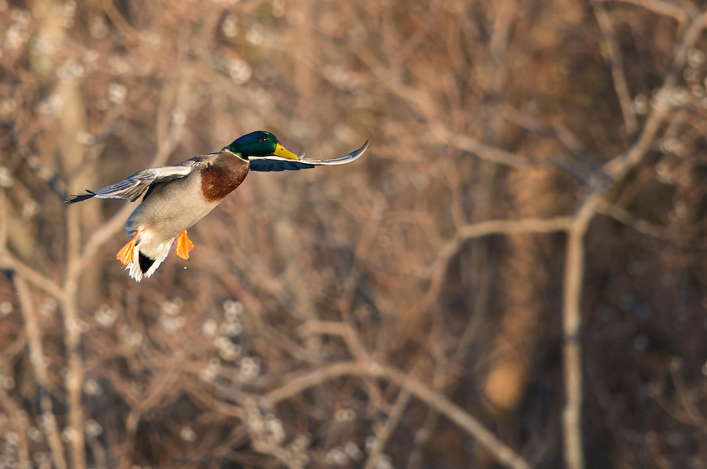 A mallard (Anas platyrhynchos) drake prepares to land, North Texas