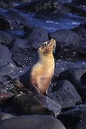 Galapagos sea lion, Zalophus californianus wollebaeki, Galapagos Islands, Ecuador (Eastern Pacific)&amp;#xA;&copy; KIKE CALVO - V&amp;W<br />