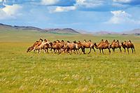 Mongolie. Province de Zavkhan, troupeau de chameaux de Bactriane dans la syeppe // Mongolia,  Zavkhan province, bactriane camel on the steppe