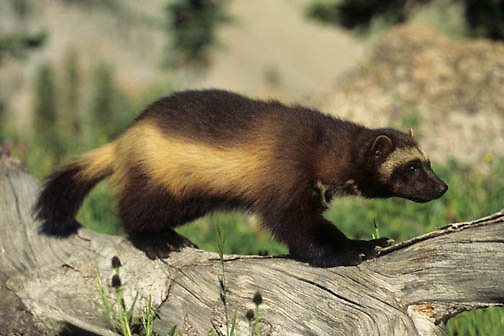 Wolverine, (Gulo gulo) Young kit. Rocky mountains. Montana. Spring. Captive Animal.