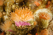 Deep-sea coral - Crested cup coral (Desmophyllum dianthus) - Comau Fjord, Patagonien,  Chile