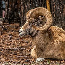 Big Horn Sheep, Snowing in Bearizona - Williams, Arizona