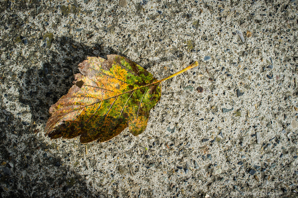 A single fallen leaf on a background of a concrete paving
