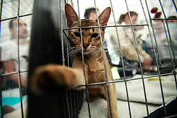 61080069<br /> An Abyssinian cat plays during the International Feline Exhibition, in Bogota, capital of Colombia, on Feb. 16, 2014. About 100 breeds of cats were presented during the International Feline Exhibition held in Bogota. Sunday, 16th February 2014. Picture by  imago / i-Images<br /> UK ONLY