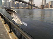 seagull with the Brooklyn Bridge in the background