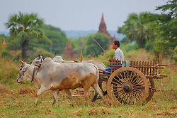 A farmer working amonst nine-hundred -year -old temples in Bagan, Burma (Myanmar).<br />