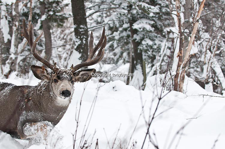 muledeer buck fir aspen trees heavy deep snow