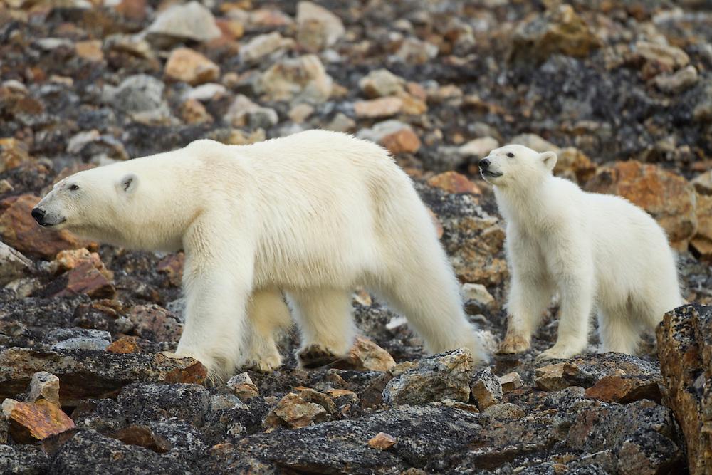 Norway, Svalbard, Spitsbergen Island, Polar Bear (Ursus maritimus) and young cub walking across boulder field above Fuglefjorden (Bird Fjord)