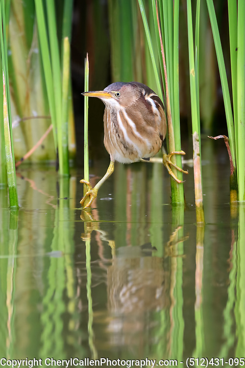 Least Bittern holding on to reeds waiting for food