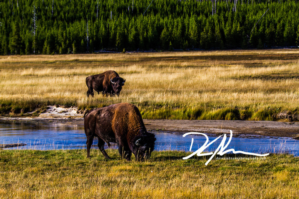 Buffalo graze the open plains while they can, once the snow hits, finding food becomes difficult