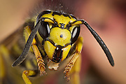 portrait of a yellowjacket wasp (vesula sp.), western Oregon. © Michael Durham / www.DurmPhoto.com.