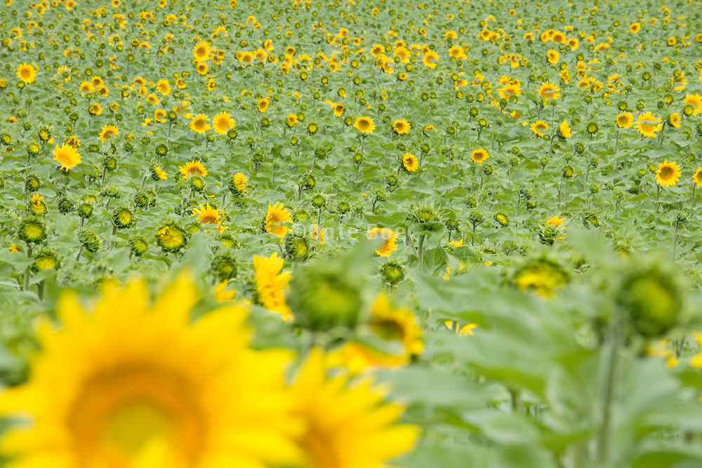 sunflowers opening up in various stages in the field