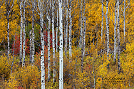Aspen grove in peak fall colors in Glacier National Park, Montana, USA