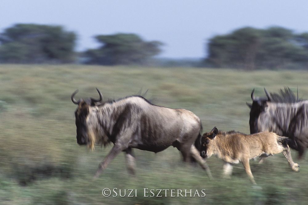 Wildebeest<br /> Mother and calf running with herd<br /> Connochaetes taurinus<br /> Ngorongoro Conservation Area, Tanzania