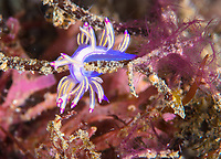 The colors of this Flabellina rubrolineata warn other animals that it may give them a anasty surpise if they try to eat it. It can store the poison from the stinging cells of the animals it eats, and use it as aweapon in its defence.
