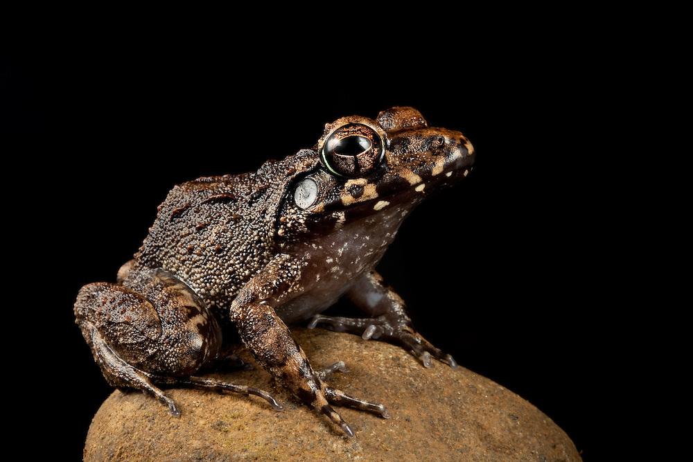 A Platymantis frog sits on a rock on Kolombangara, Solomon Islands