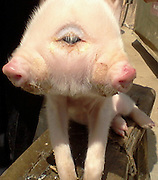 PENGZE, CHINA -  (CHINA OUT) <br /> <br /> A pig with two heads and three eyes appears at Hongxin village<br /> in Pengze, Jiujiang, Jiangxi province of China. The odd pig's mother gave birth to 12 pigs at Mr Ouyang's home on April 9, 2013. This odd pig is one of them, with 20 centimeter long and about 1 kilogram weight. The sow took two hours to give the odd pig's birth. Owning to the odd pig has two mouths, and two mouth struggled with each other for nipples but nothing can be eat. So Mr. Ouyang gives them bottle-feeding. <br /> ©ChinaFoto/Exclusivepix