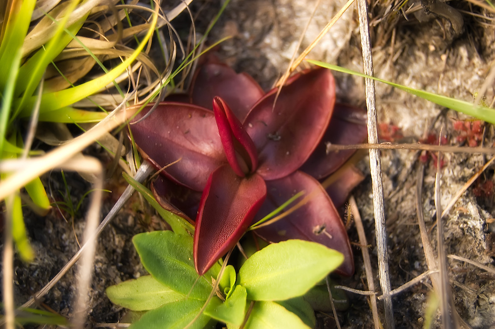 A chapman's butterwort growing in Liberty County, Florida alongside another unidentified butterwort - perhaps the green form of the same species. In this photo, you can see the fine short hairs on the greasy leaves that attract and trap flying insects.