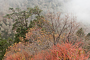 Fog, orange leaves, and lichen covered trees, in a forest in Sagarmatha National Park, in the Khumbu District of Nepal. Sagarmatha National Park (created 1976) was honored as a UNESCO World Heritage Site in 1979.