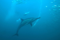 Common Dolphins and Cape Gannets Hunting Sardines<br /> <br /> shot in South Africa