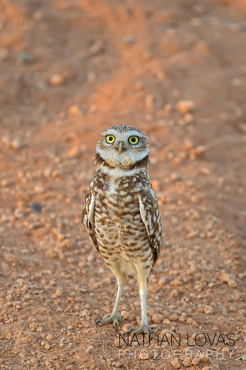 Burrowing owl standing on ground;  Arizona.