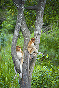 Proboscis Monkey<br /> Nasalis larvatus<br /> Juveniles <br /> Sabah, Malaysia