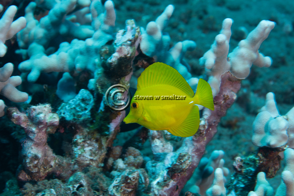 Yellow Tang, Zebrasoma flavescens, (Bennett, 1828), Lanai, Hawaii