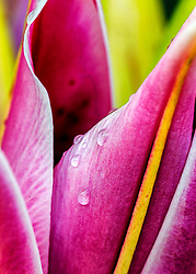 Morning dew rolls from vibrant pink lily petals