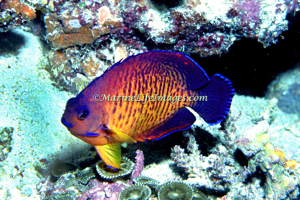 Twospined Angelfish inhabit reefs. Range from Fiji  -  E. Africa to Polynesia