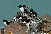 A group of little black auks atop Rubini Rock, a major nesting ground for Arctic sea birds, in Franz Josef Land.