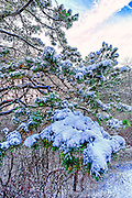 Snow on conifer branches