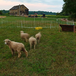 Lambs at the Crimson and Clover Farm in Northampton, Massachusetts.