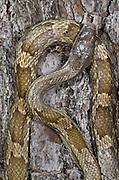 Yellow Rat Snake (Elaphe obsoleta quadrivittata )<br /> CAPTIVE<br /> The Orianne Indigo Snake Preserve<br /> Telfair County, Georgia<br /> USA<br /> HABITAT & RANGE: Coastal regions of Eastern USA