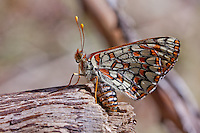 Euphydryas chalcedona hennei (Chalcedon Checkerspot) ♀ at Cactus Spring, Riverside Co, CA, USA, on 15-Apr-11