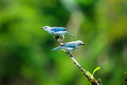 The blue-gray tanager (Thraupis episcopus) is a medium-sized South American songbird of the tanager family, Thraupidae. Photographed in Costa Rica in June