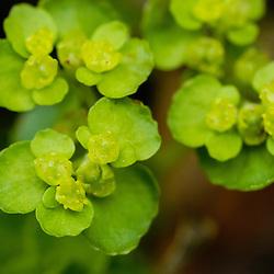 Saxifragaceae, Steenbreekfamilie