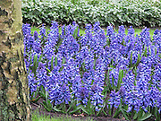 Hyacinth at Keukenhof, Holland
