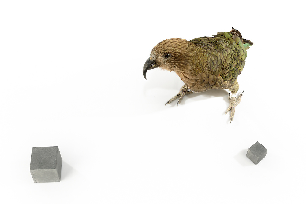 [captive] Kea (Nestor notabilis). The Kea is able to discriminate two similar looking objects solely by their difference in size. The size difference has to be larger than 20%. The picture was taken in cooperation with the University of Vienna (UniVie) and University of Veterinary Medicine Vienna (VetMed). Sequence 2/3. | Kea oder Bergpapagei (Nestor notabilis). Der Kea ist in der Lage, gleich aussehende Gegenstände nur anhand des Größenunterschieds zu unterscheiden. Dabei muss der Größenunterschied mehr als 20% betragen. Das Bild wurde in Zusammenarbeit mit der Veterinärmedizinischen Universität Wien und der Universität Wien erstellt. Sequenz 2/3.