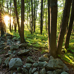 The sun shines through the trees in a forest at the Pell Farm in Grafton, Massachusetts.  Stone wall.