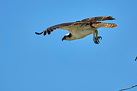 Osprey Pandion haliaetus in flight near the Fishing Pier Sanibel Island Florida USA