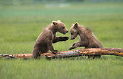 Grizzly Bear <br /> Ursus arctos<br /> 4-6 month old cub (s) playing<br /> Katmai National Park