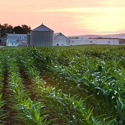 A cornfield on a farm in Hadley, Massachusetts.  Sunset.