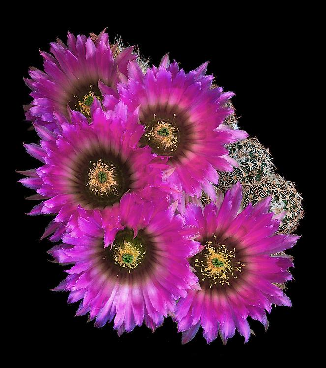 Lace hedgehog cactus (Echinocereus reichenbachii) / #CAC009