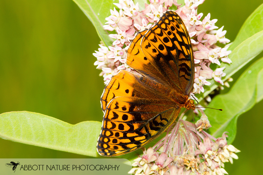 Great Spangled Fritillary - Hodges#4450 (Speyeria cybele)<br /> VIRGINIA: Rockbridge Co.<br /> Cold Sulphur Springs Lake off Sand Bank View Rd.<br /> 30-June-2015<br /> J.C. Abbott #2760 &amp; K.K. Abbott