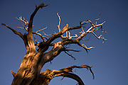 Oct. 6, 2008 -- GRAND CANYON NATIONAL PARK: A dead tree at sunset on the south rim of the Grand Canyon National Park in northern Arizona. Photo by Jack Kurtz