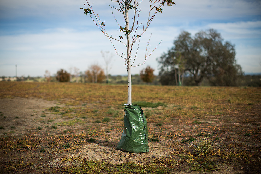 A tree is watered with a bag while the lawn is left to die in a Rocklin, California park, November 18, 2014. The City of Rocklin has taken many steps to reduce water use during California's unprecedented drought.<br /> CREDIT: Max Whittaker/Prime