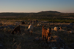 Syria.<br /> Livestock while a family of shepherds drives them in the fields of south-east Idlib countryside, Syria,<br /> 15th June 2013<br /> Picture by Daniel Leal-Olivas / i-Images
