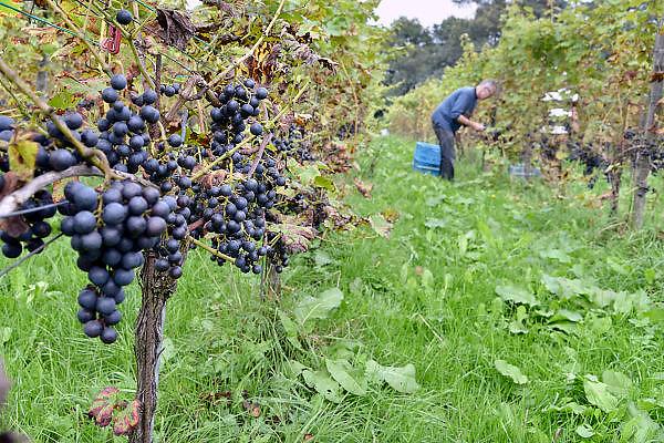 Nederland, Groesbeek, 23-9-2014Bij de biologische wijngaard de Colonjes is men bezig met de druivenoogst van dit seizoen.  Beschimmelde en aangetaste vruchten worden zoveel mogelijk weggeknipt. Het eerst gaan de aangetaste trosjes druiven eraf. De oogst valt tegen want de zomer is relatief nat geweest, en door de zachte winter heeft de Suzuki fruitvlieg, een soort die vanuit Azie hier terecht is gekomen, behoorlijke schade aan de vruchten veroorzaakt. Kwaliteit gaat hier boven kwantiteit. Foto: Flip Franssen/Hollandse Hoogte